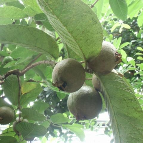 熱帯植物観察会と熱帯果実抽選会