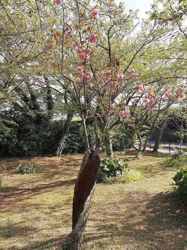 根性桜(花).jpg