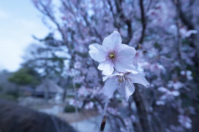 s_ミュージアム横 啓翁桜1.jpg