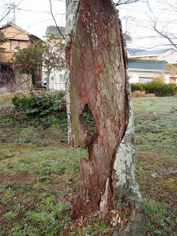 根性桜 (2).jpg