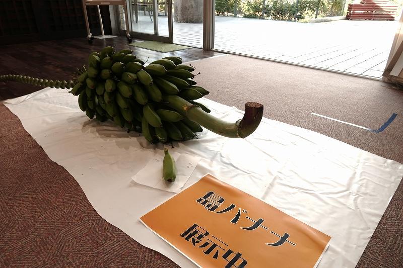 s_シマバナナ展示.jpg