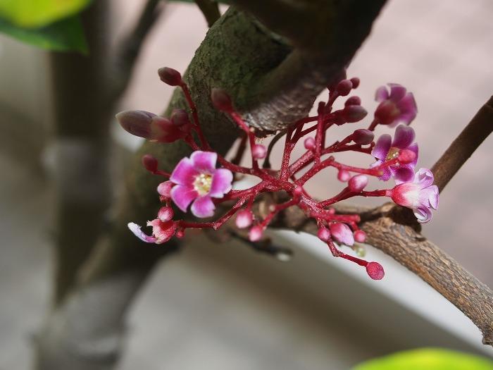 ゴレンシの花.jpg