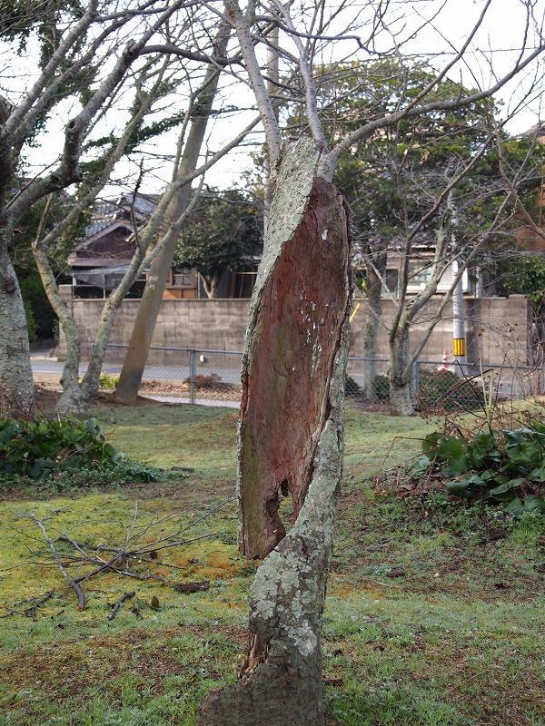 根性桜 (1).jpg