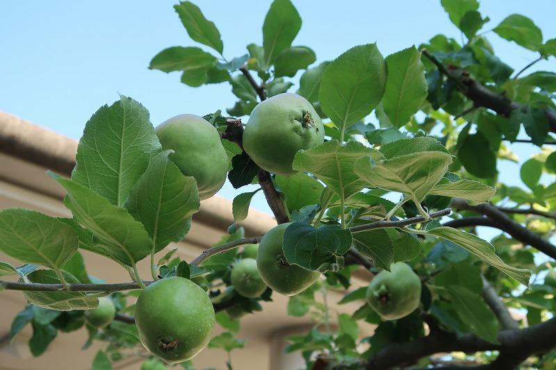 ニュートンのリンゴ.jpg