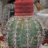 メロカクタス属
