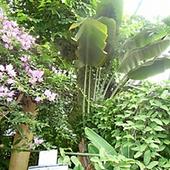 タビビトノキ