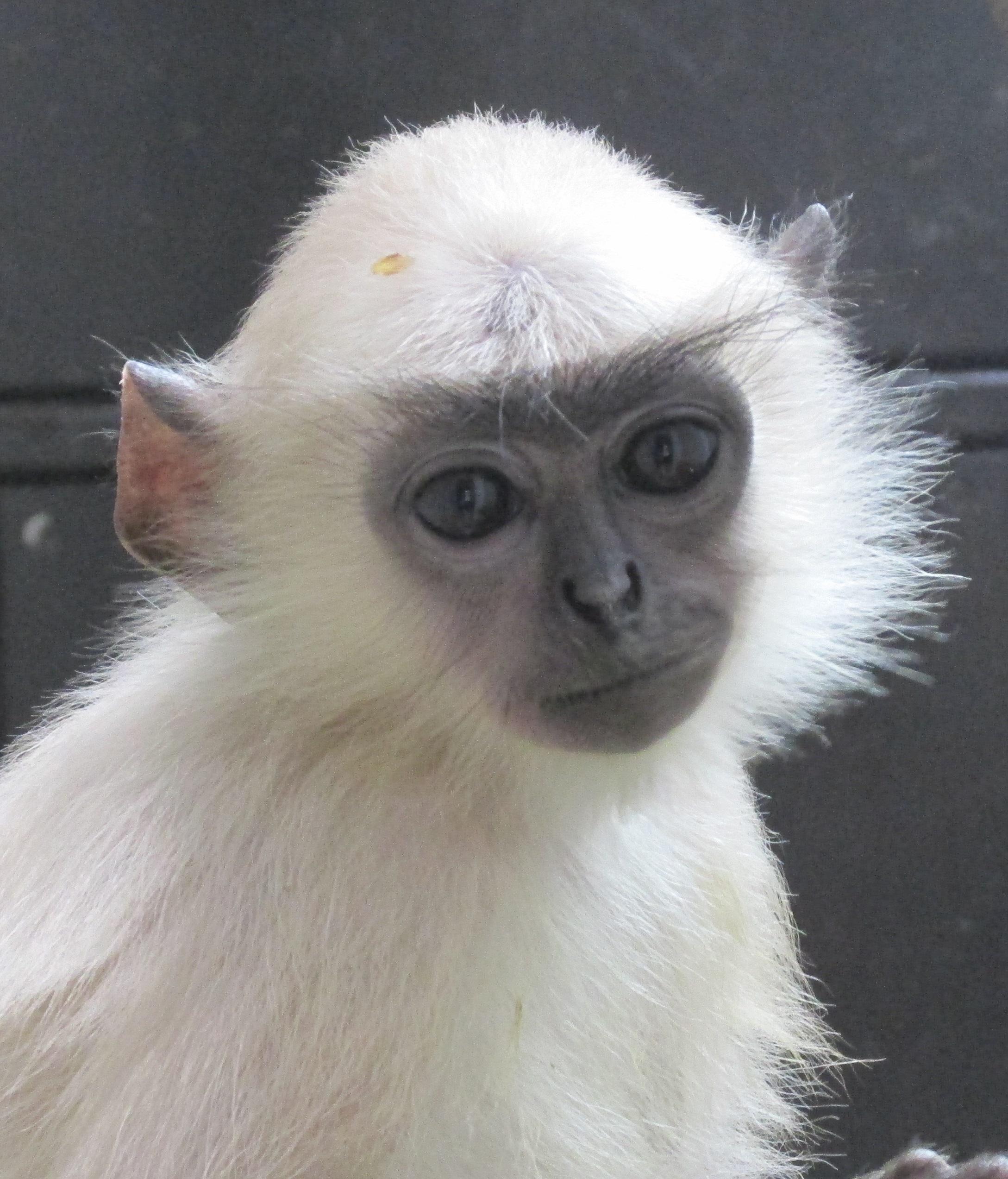 4月8日 ハヌマンラングールの人工哺育