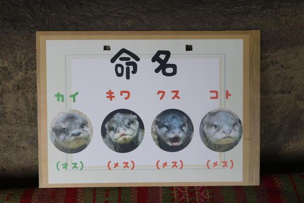 2月4日 コツメカワウソの赤ちゃん成長記録④~お名前が決まりました編~