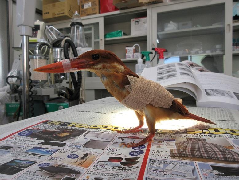 4月14日 傷病鳥獣保護レポート 始動!
