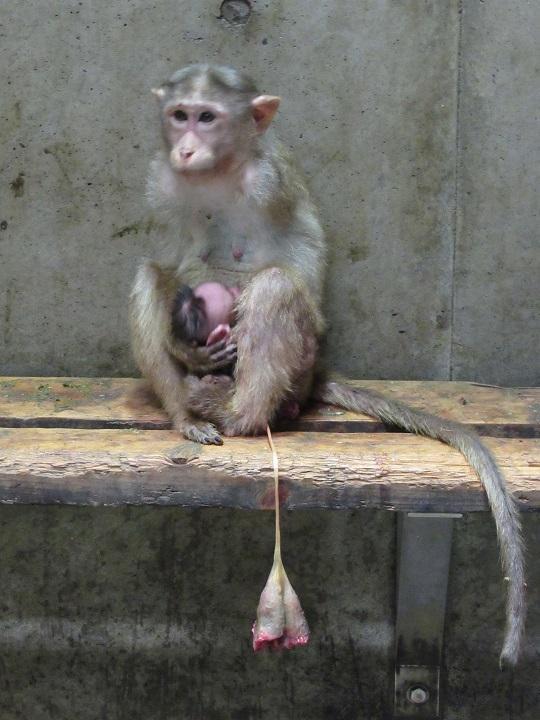 5月18日 ボンネットモンキーの「ちー」、出産しました!