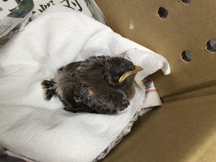 5月1日 傷ついた鳥類の保護受け入れを再開します