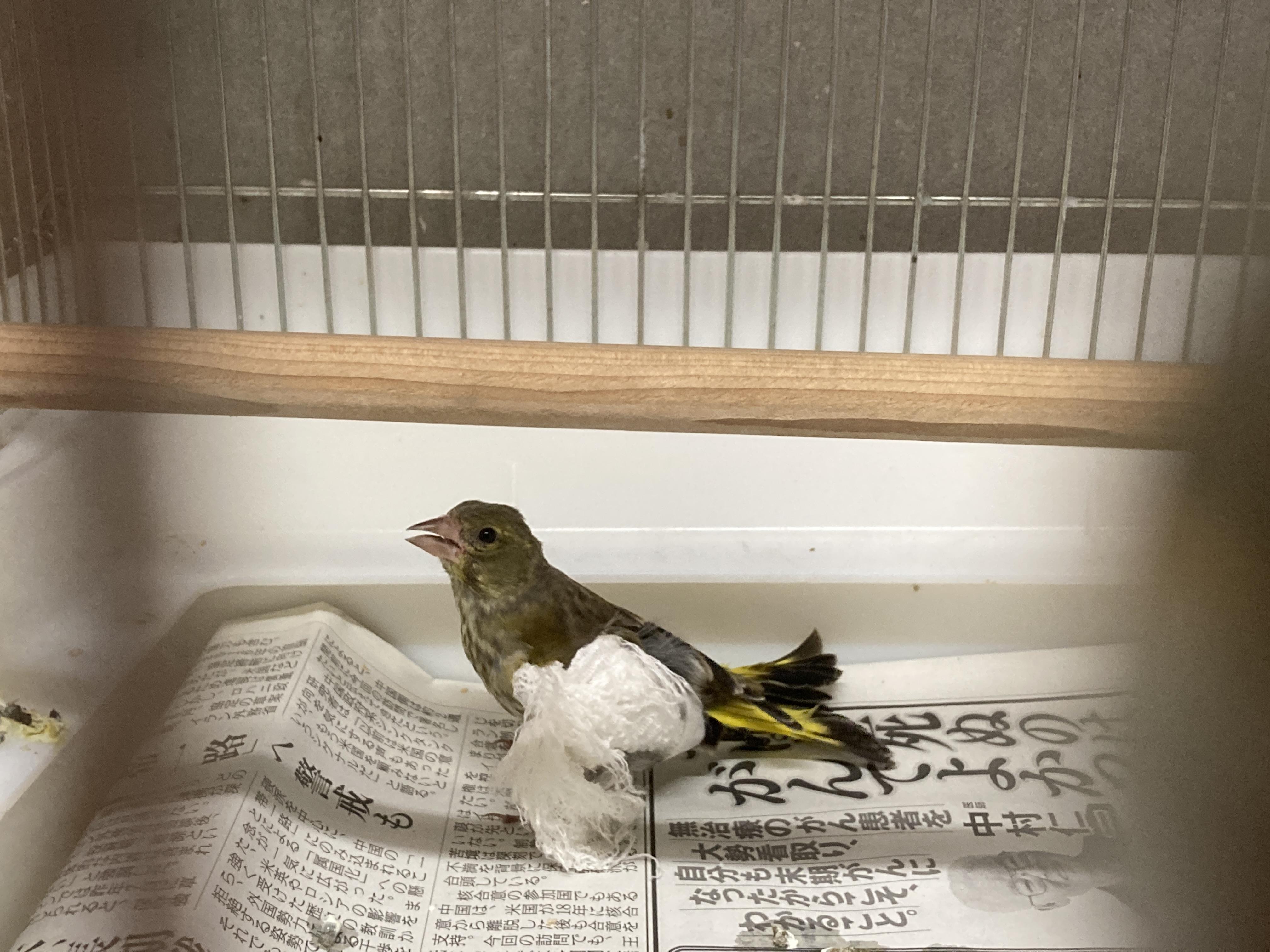 6月19日 傷病鳥獣保護レポート:カワラヒワを放鳥しました