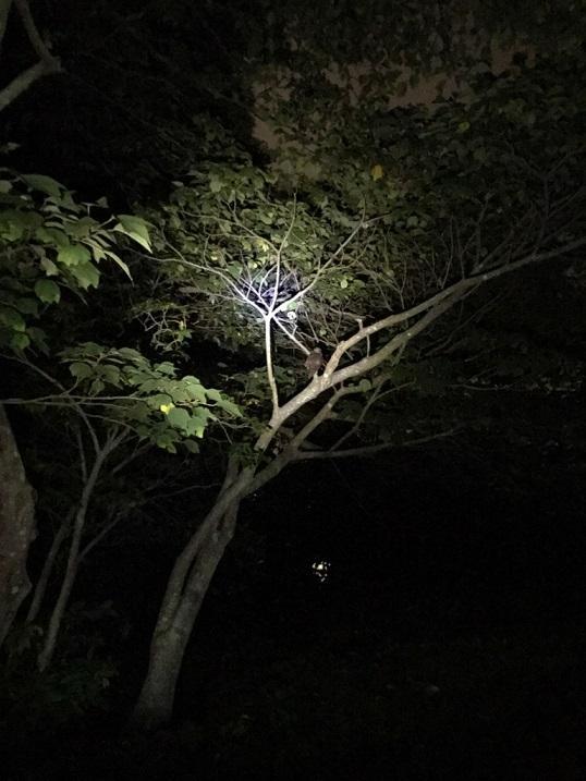 アオバズク木の上.jpg