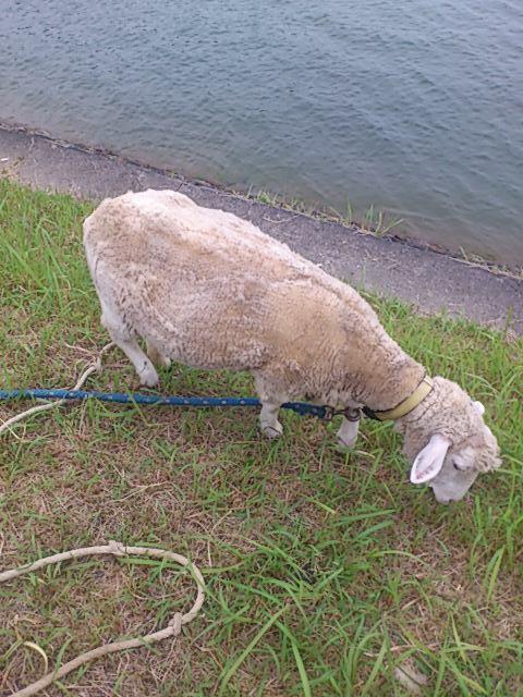 草を食む羊.jpg