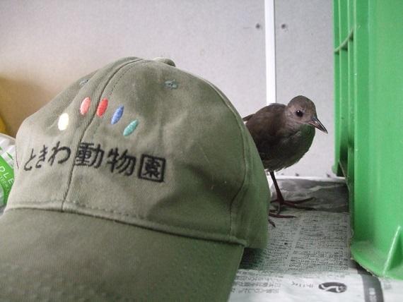 ヒクイナ成体.JPG